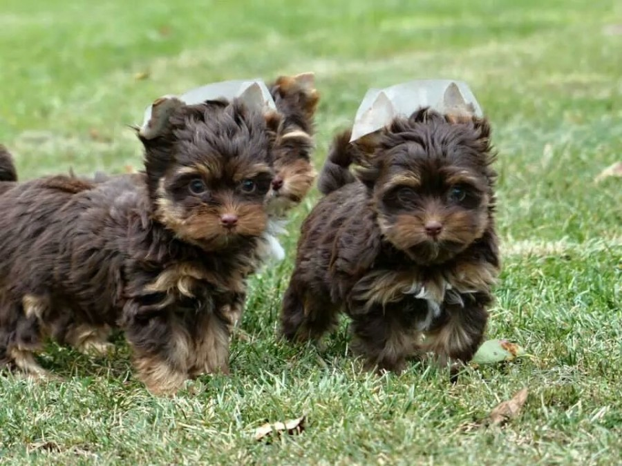 Chocolate-Yorkshire-Terrier