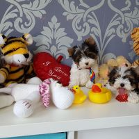 Biewer Terrier peluche