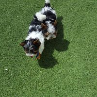 Biewer Terrier cesped