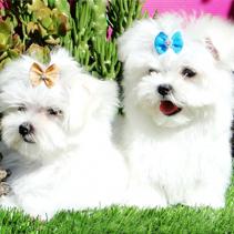 Cachorros bichón americano