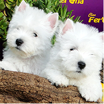 Cachorros West H. W. Terrier