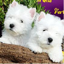 Cachorros West H. W. Terrier