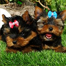 cachorros-yoskshire