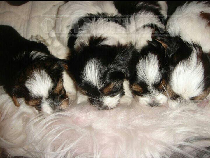 Cachorros Biewer