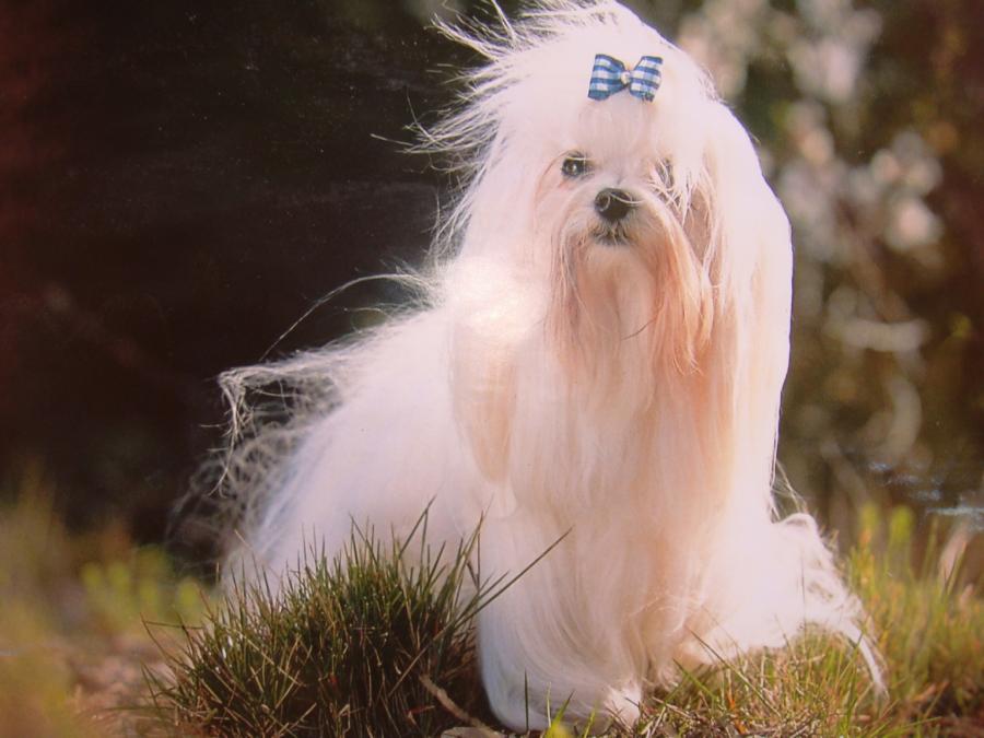 Bichón maltés de pelo largo y cuidado