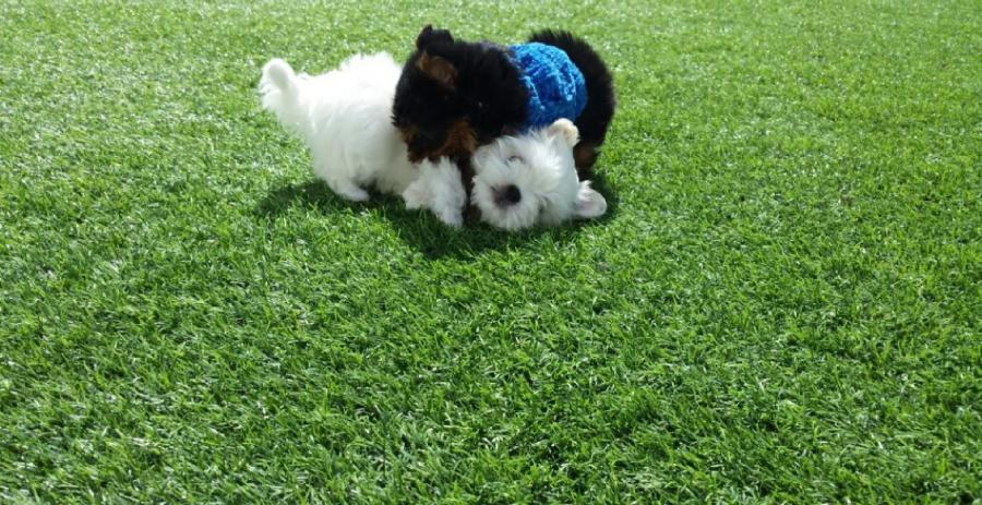 El caracter del Yorkshire Terrier
