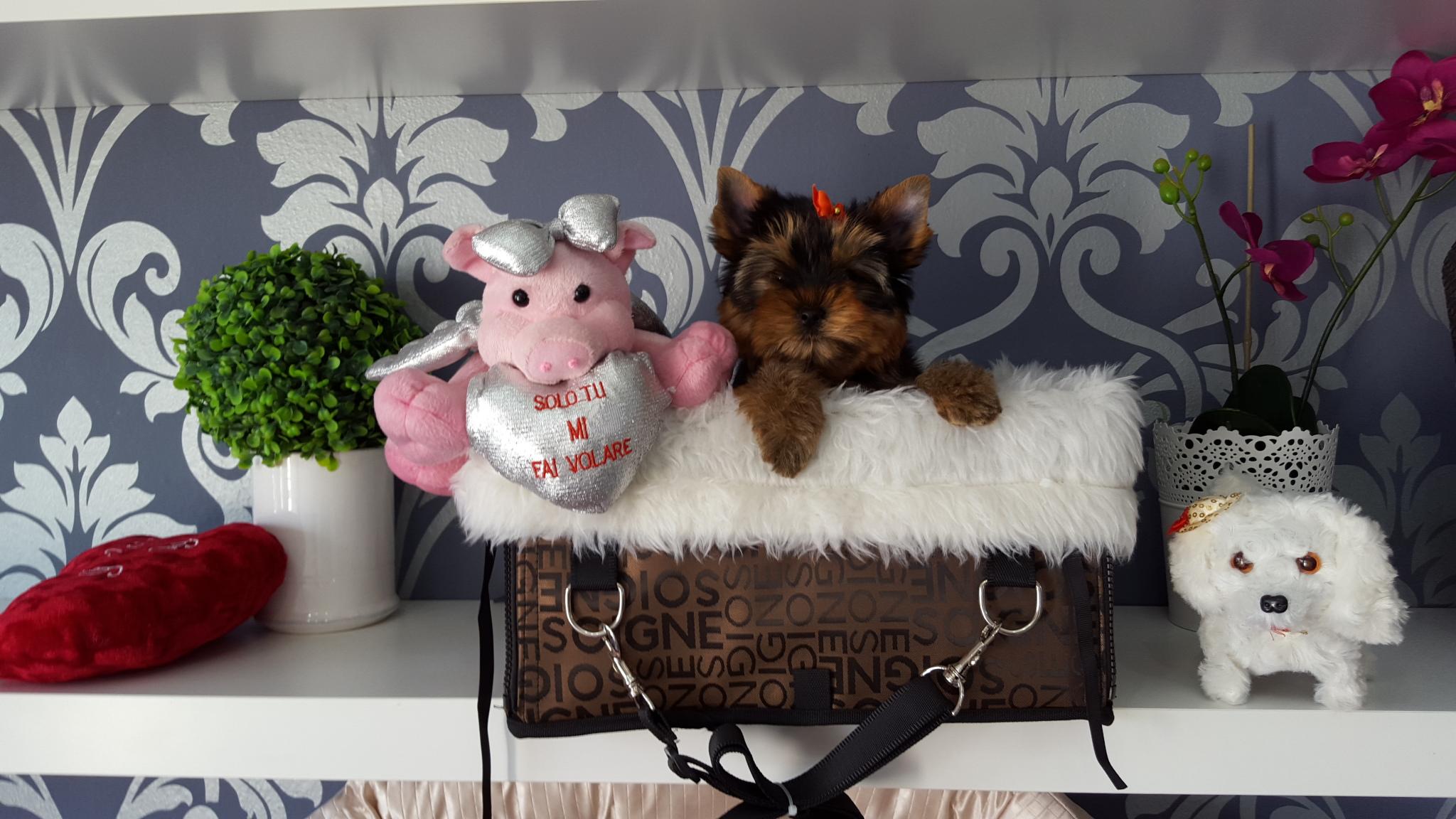 yorkshire-terrier-clanferona