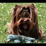 Colorful Yorkshire Terrier: Una novedad de Clan Ferona que triunfa en el mundo 11