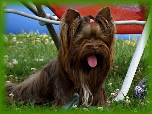 Colorful Yorkshire Terrier: Una novedad de Clan Ferona que triunfa en el mundo 12