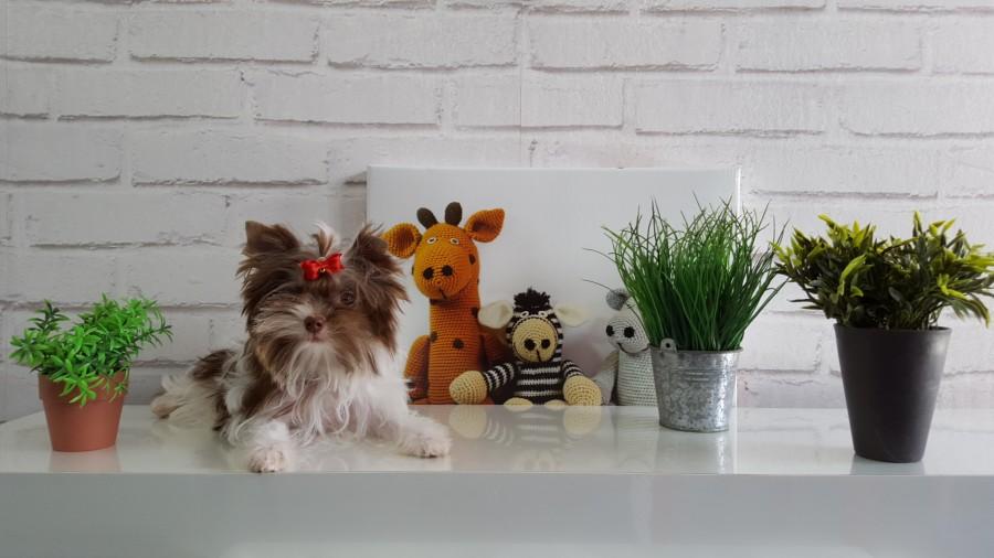 Biro-Yorkshire-Terrier
