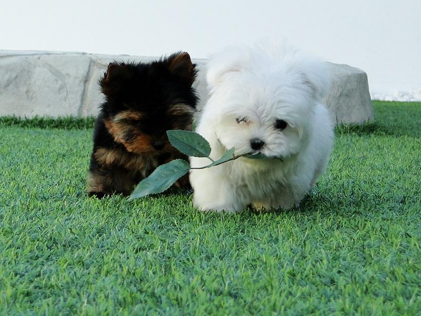 ¿Cuáles son los errores habituales en los cuidados de razas miniatura como Yorkshire Terrier Toy, Biewer Yorkshire Terrier y Bichón Maltés Americano? 5
