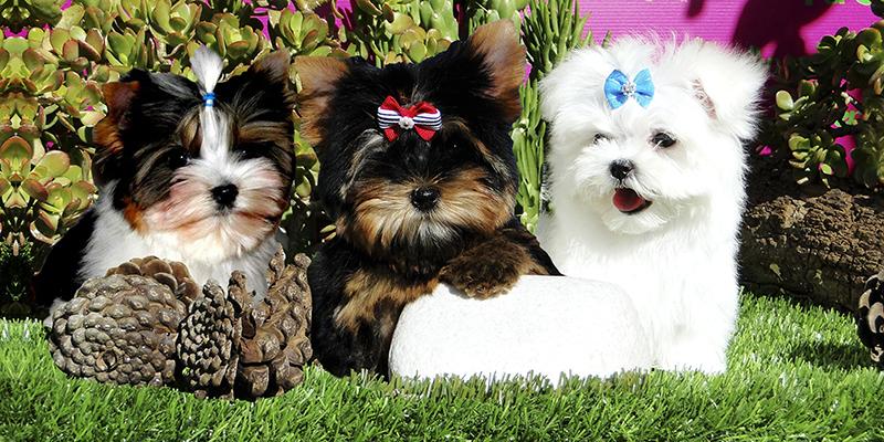 como Yorkshire Terrier Toy, Biewer Yorkshire Terrier y Bichón Maltés Americano