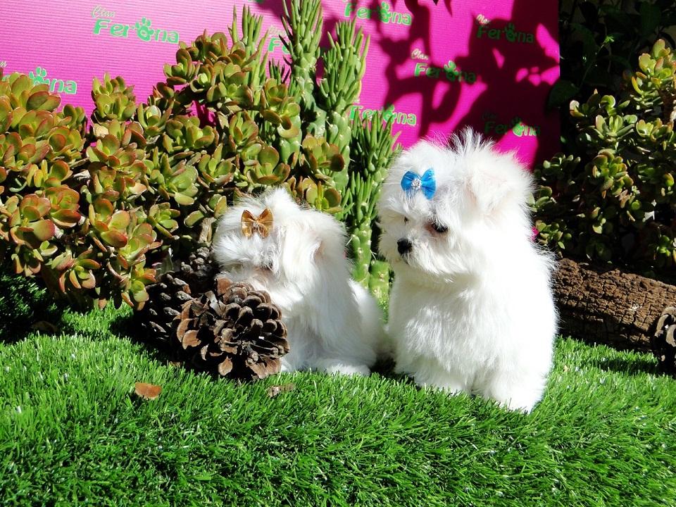 ¿Cuál es el proceso para adoptar un Yorkshire Terrier, Maltés Toy y Westy? 2