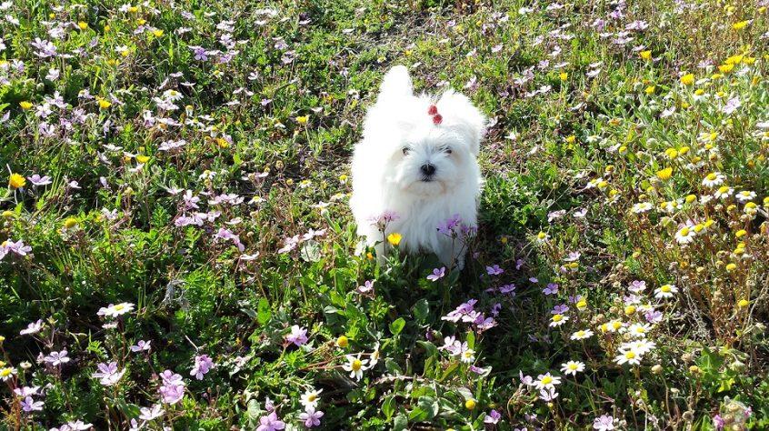 ¿Cómo enviar a un cachorro de bichón maltés de forma segura a su nuevo hogar? 4