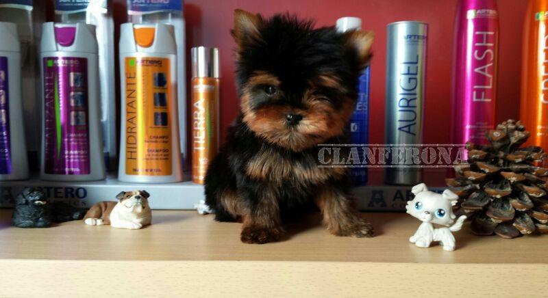 Higiene Yorkshire Terrier