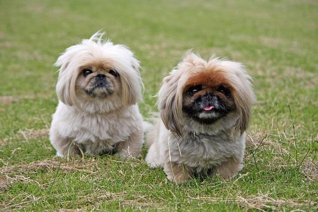 Una de las razas más veterana en cuanto perros pequeños se refiere