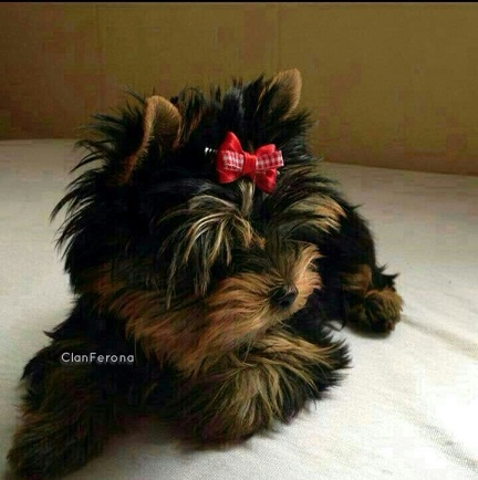 Estado de salud Yorkshire Terrier