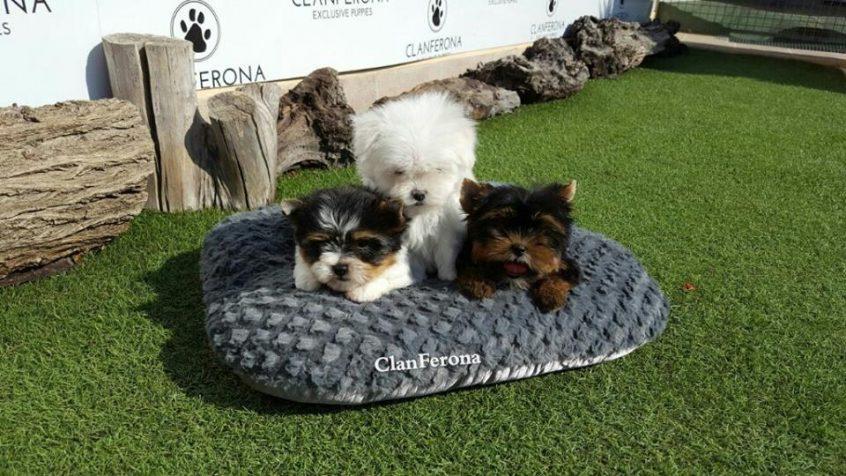 Las 7 Razas de Perros Pequeños Más Queridas del Mundo 6
