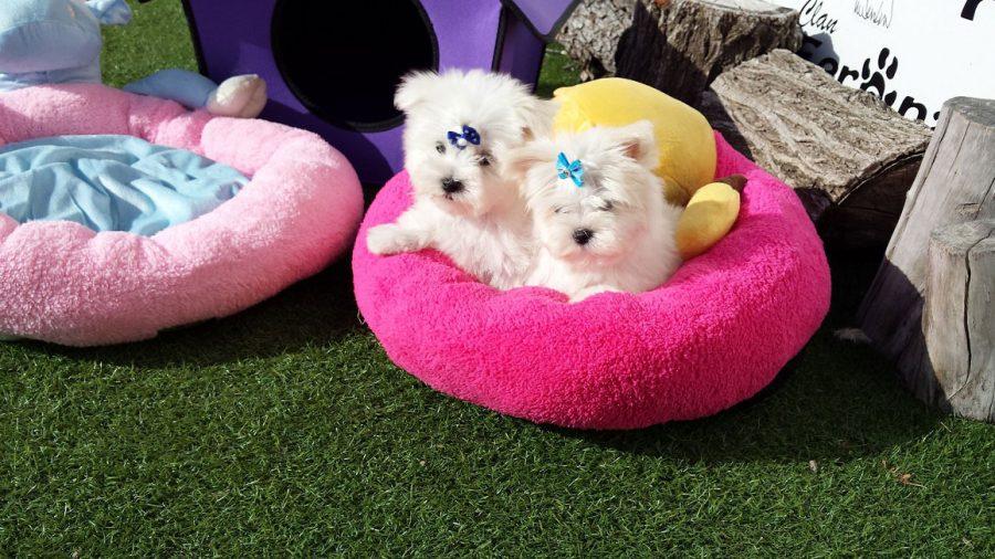 Cuidado de perros en miniatura