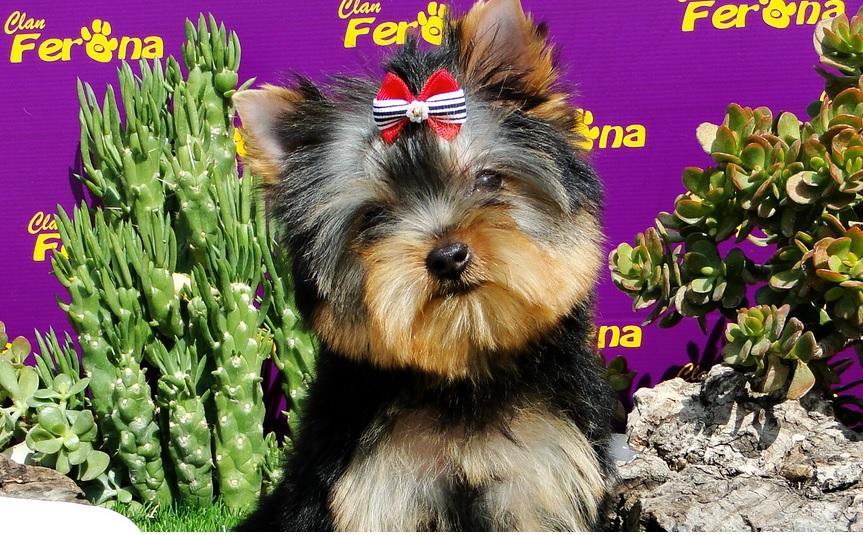 cortar-pelo-yorkshire-terrier