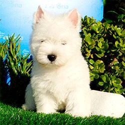 west-hightland-terrier-disponible