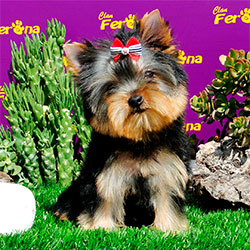 yorkshire-terrier-disponible