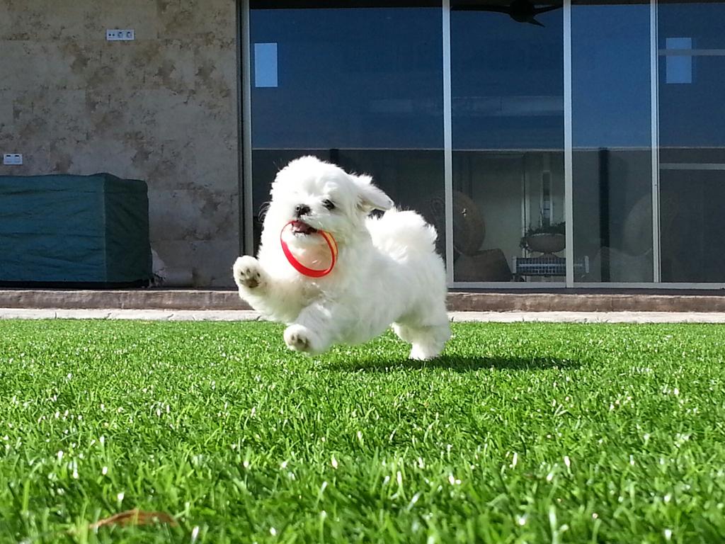 beagle o bichon maltes