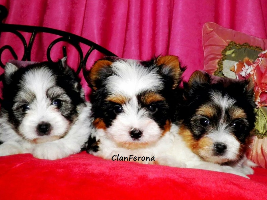 clanferona-biewer-terrier-mascota