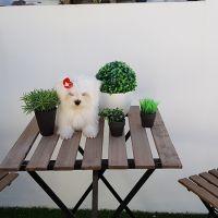 bichón maltés cachorros disponible