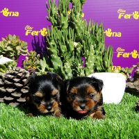 Yorkshire terrier disponible